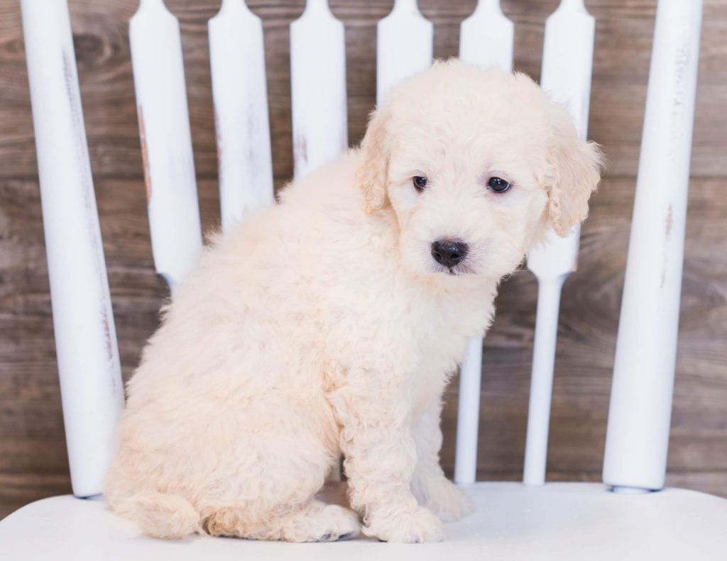 Vanilla came from Sassy and Ozzy's litter of F1 Goldendoodles