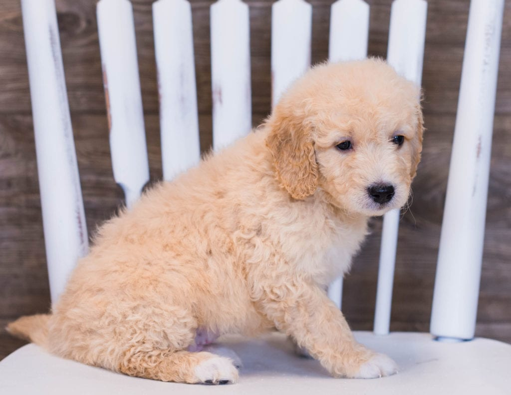 Vara is an F1 Goldendoodle that should have  and is currently living in Minnesota