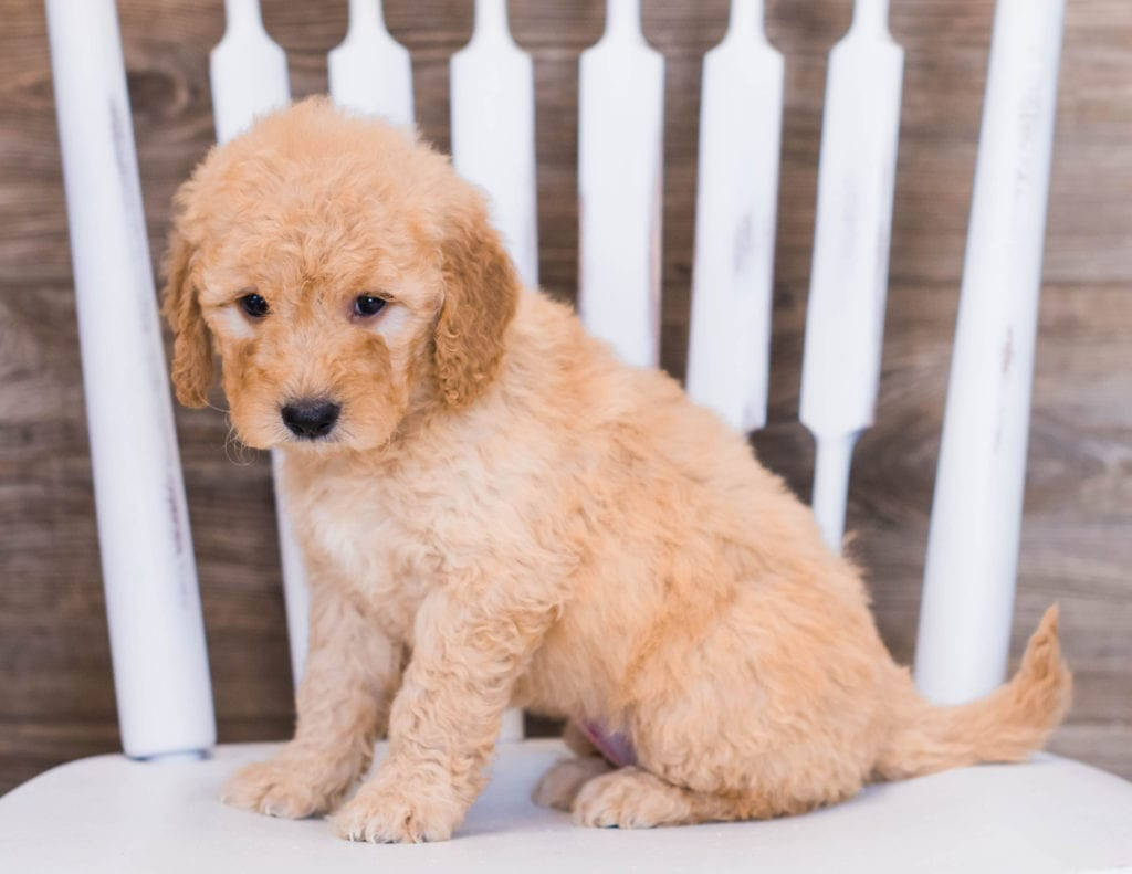 Venus is an F1 Goldendoodle that should have  and is currently living in Minnesota