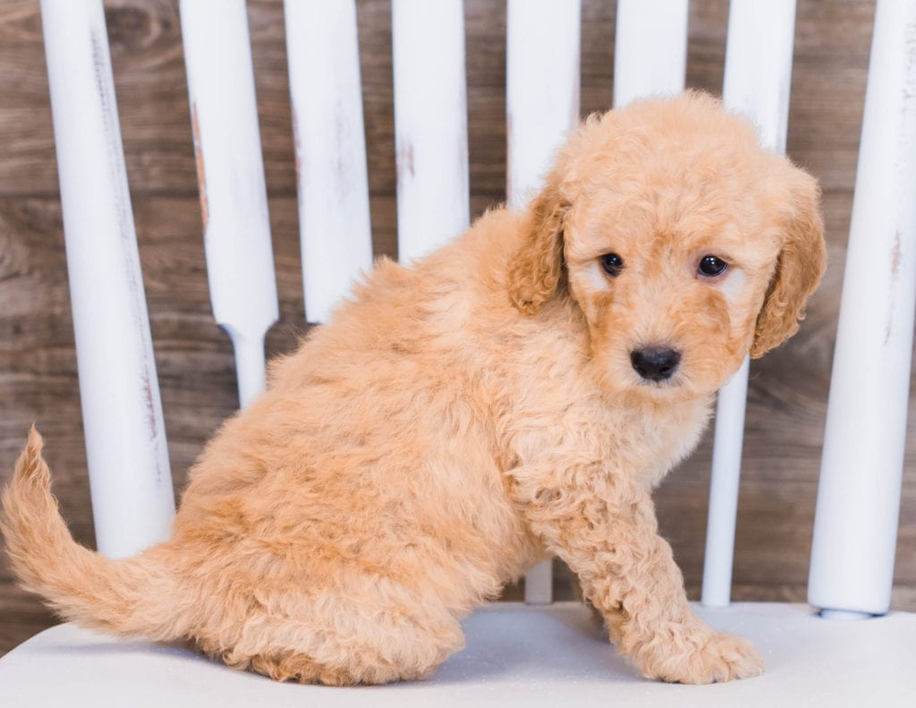 Venus came from Sassy and Ozzy's litter of F1 Goldendoodles