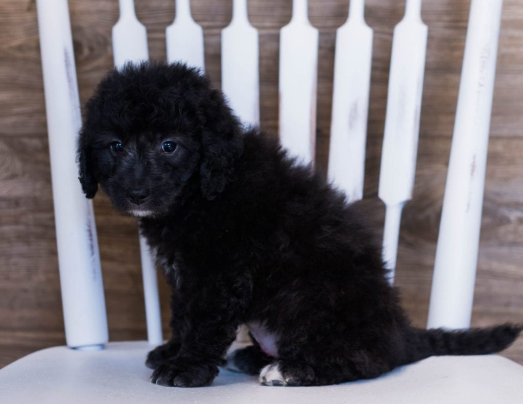 A picture of a Villa, one of our Mini Goldendoodles puppies that went to their home in Iowa