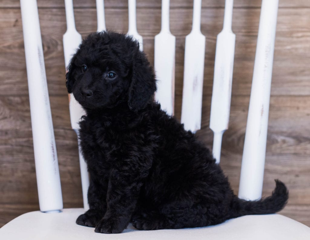 These Goldendoodles were bred by Poodles 2 Doodles, their mother is Sassy and their father is Ozzy