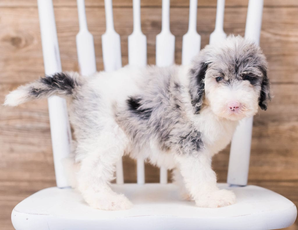 A picture of a Yadine, one of our Standard Sheepadoodles puppies that went to their home in South Dakota
