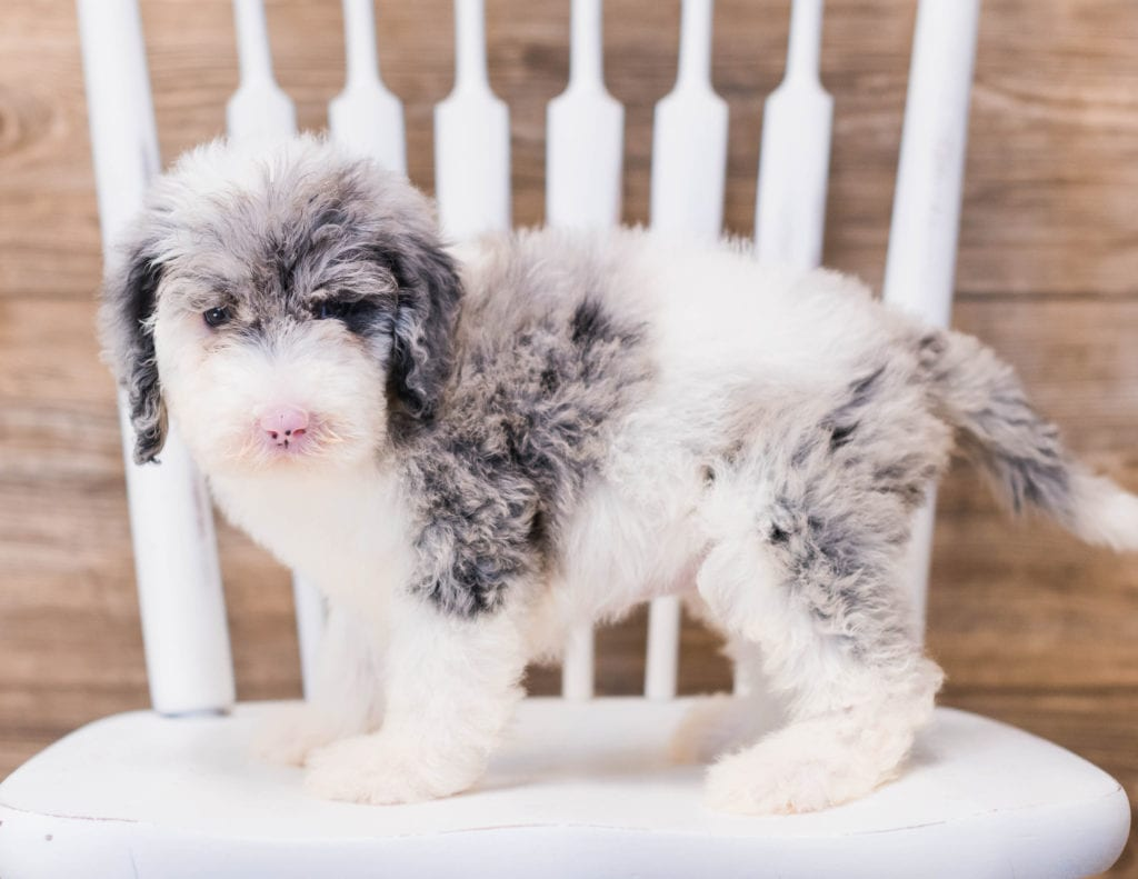 Yadine came from Truffles and Merlin's litter of F1 Sheepadoodles