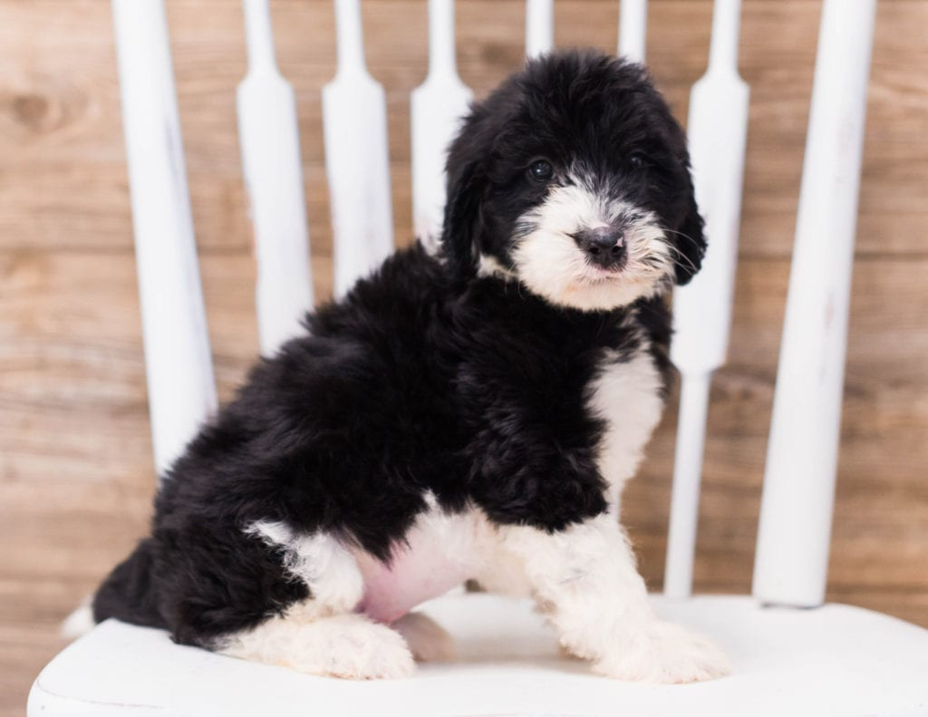 Standard Sheepadoodles with hypoallergenic fur due to the Poodle in their genes. These Sheepadoodles are of the F1 generation. For more info on generations, view our specific breed page for Sheepadoodles.