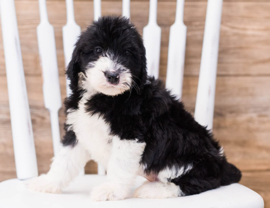 Yalie is an F1 Sheepadoodle that should have  and is currently living in Massachusetts