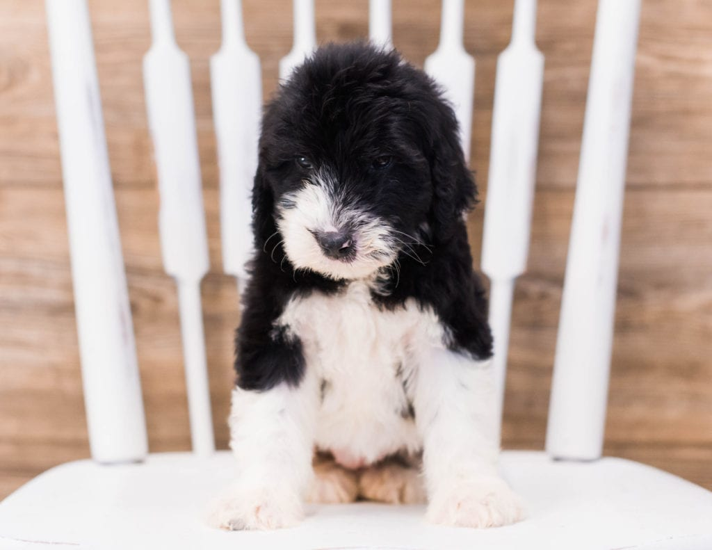 A picture of a Yalie, one of our Standard Sheepadoodles puppies that went to their home in Massachusetts