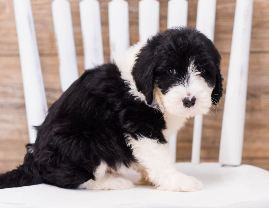 Yamie is an F1 Sheepadoodle that should have  and is currently living in Illinois