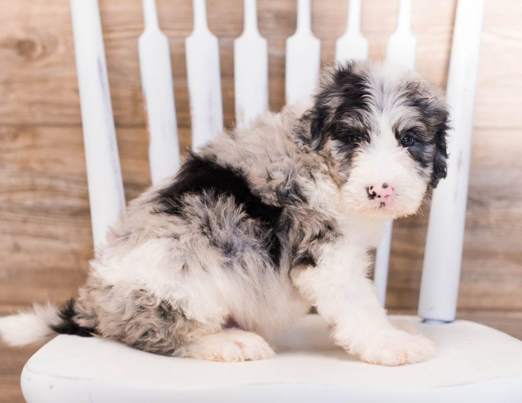 Yang is an F1 Sheepadoodle that should have  and is currently living in Iowa