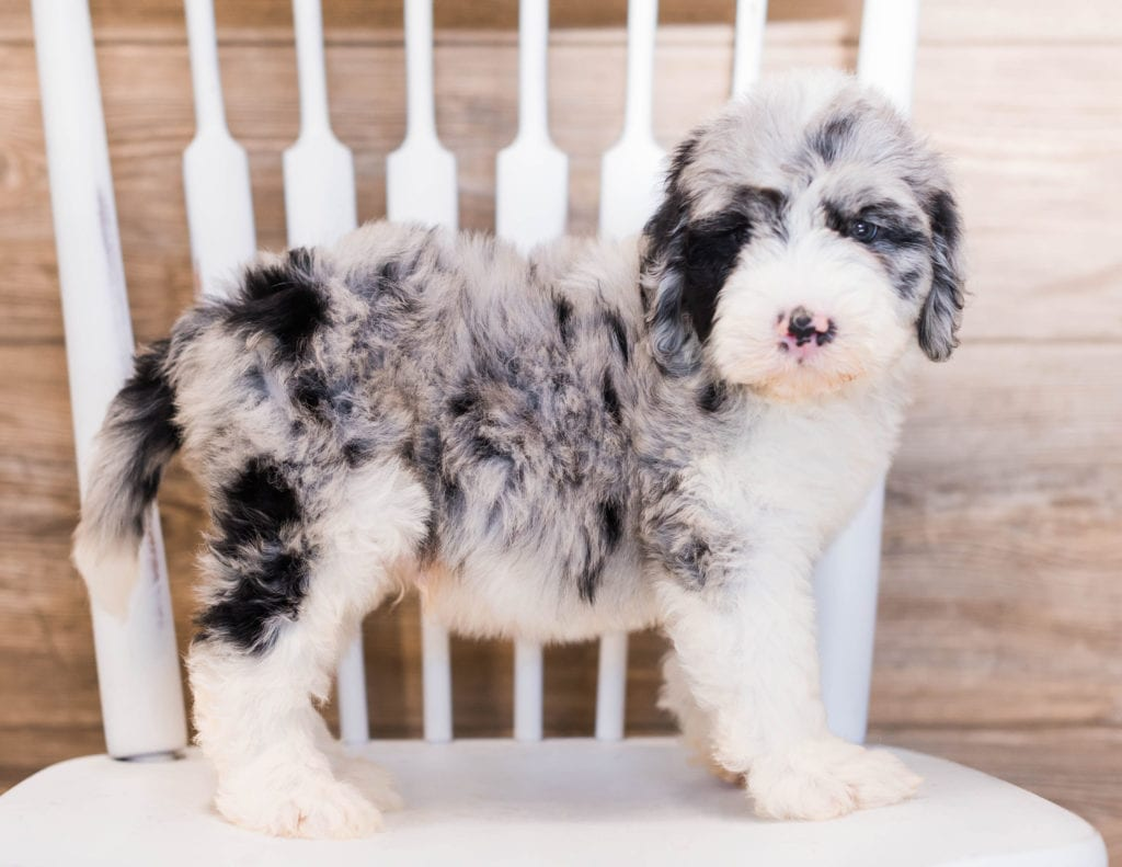 A picture of a Yanko, one of our Standard Sheepadoodles puppies that went to their home in Wisconsin