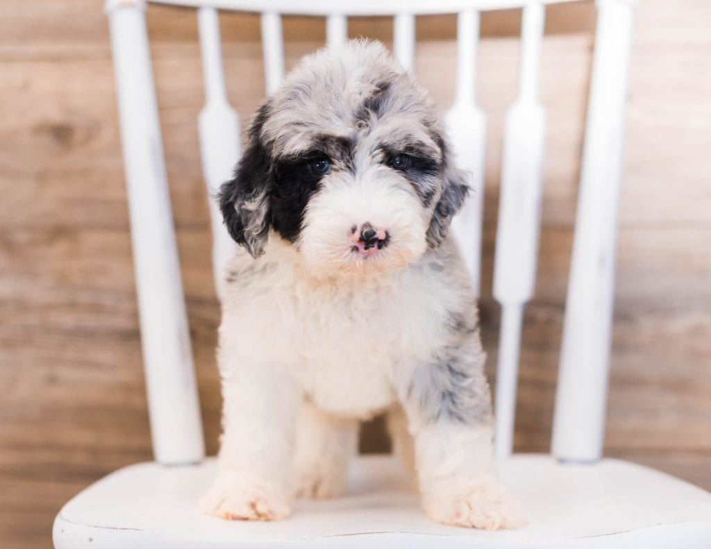 Yanko came from Truffles and Merlin's litter of F1 Sheepadoodles