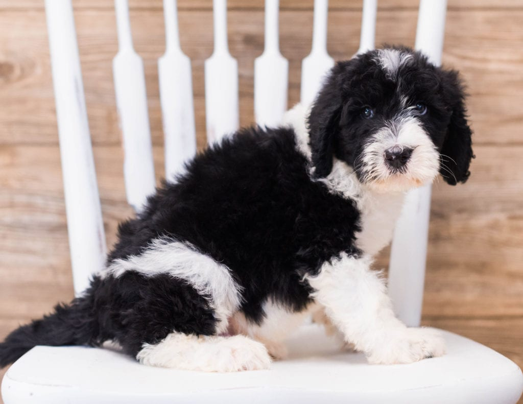Yano is an F1 Sheepadoodle that should have  and is currently living in Massachusetts