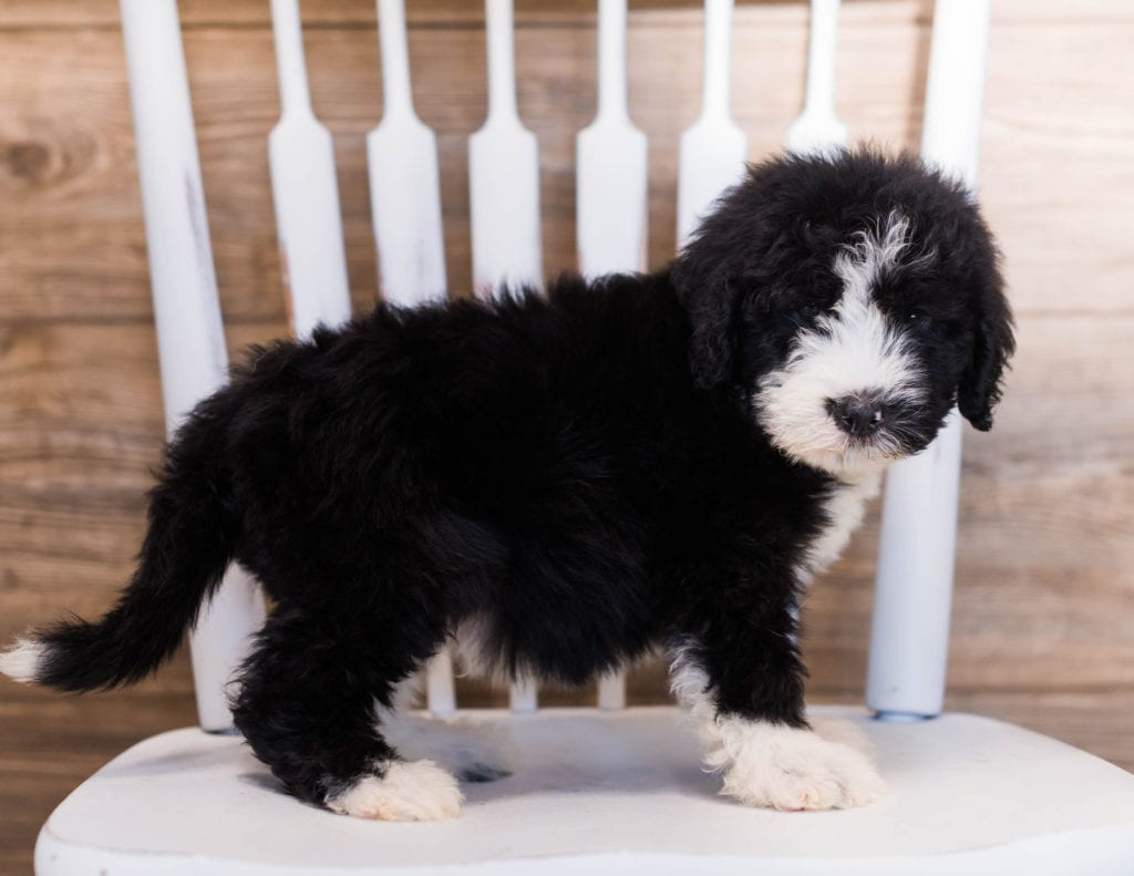 Yarin came from Truffles and Merlin's litter of F1 Sheepadoodles