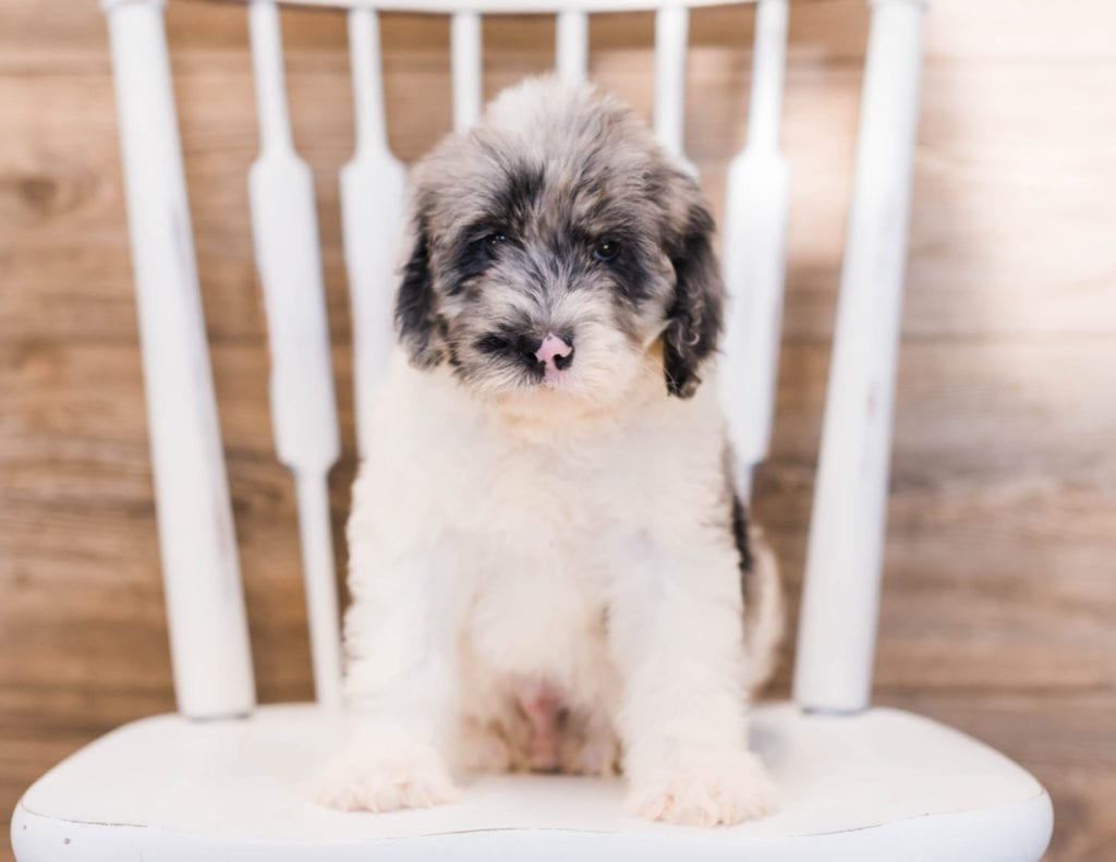 Yarus is an F1 Sheepadoodle that should have  and is currently living in North Dakota