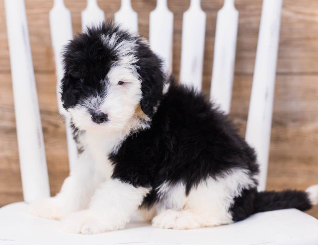 A picture of a Yeff, one of our Standard Sheepadoodles puppies that went to their home in Iowa