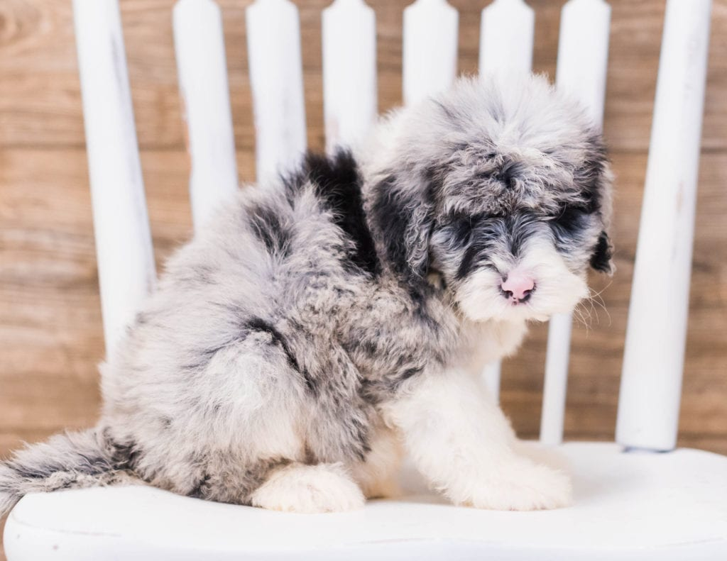 Yen is an F1 Sheepadoodle that should have  and is currently living in Kentucky