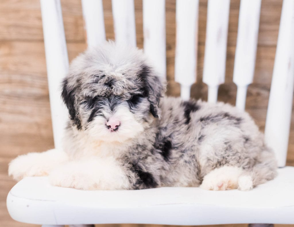 Yen came from Truffles and Merlin's litter of F1 Sheepadoodles