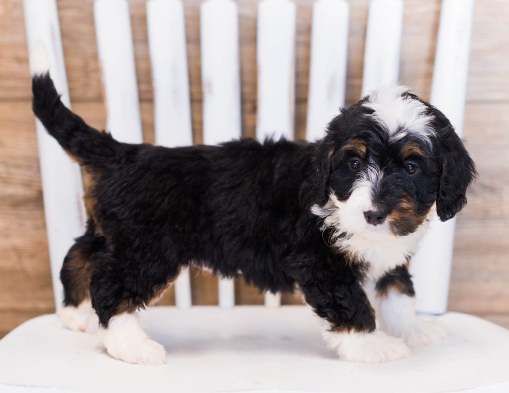 Zia came from Willow and Grimm's litter of F1 Bernedoodles