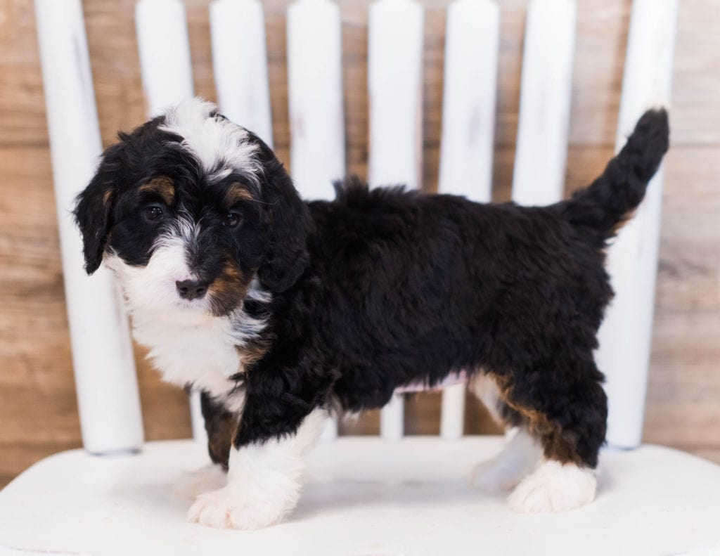 Zia is an F1 Bernedoodle that should have  and is currently living in Indiana