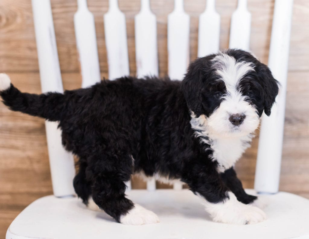 Zole is an F1 Bernedoodle that should have  and is currently living in Alabama
