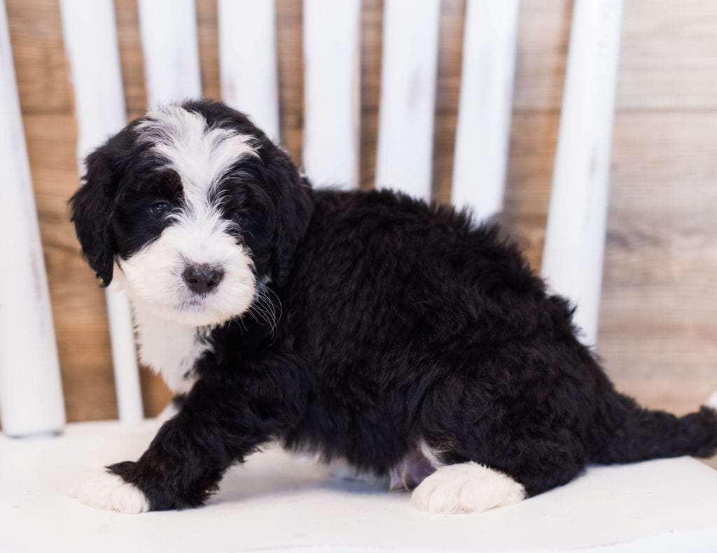 Zole came from Willow and Grimm's litter of F1 Bernedoodles