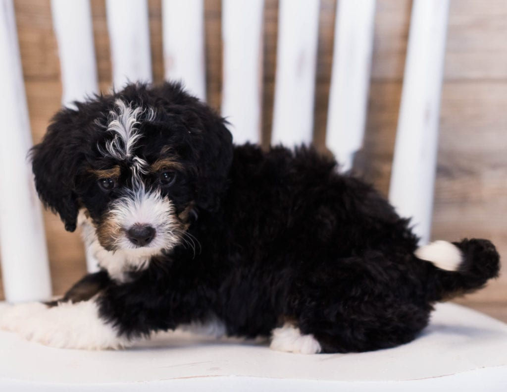 Zowie came from Willow and Grimm's litter of F1 Bernedoodles