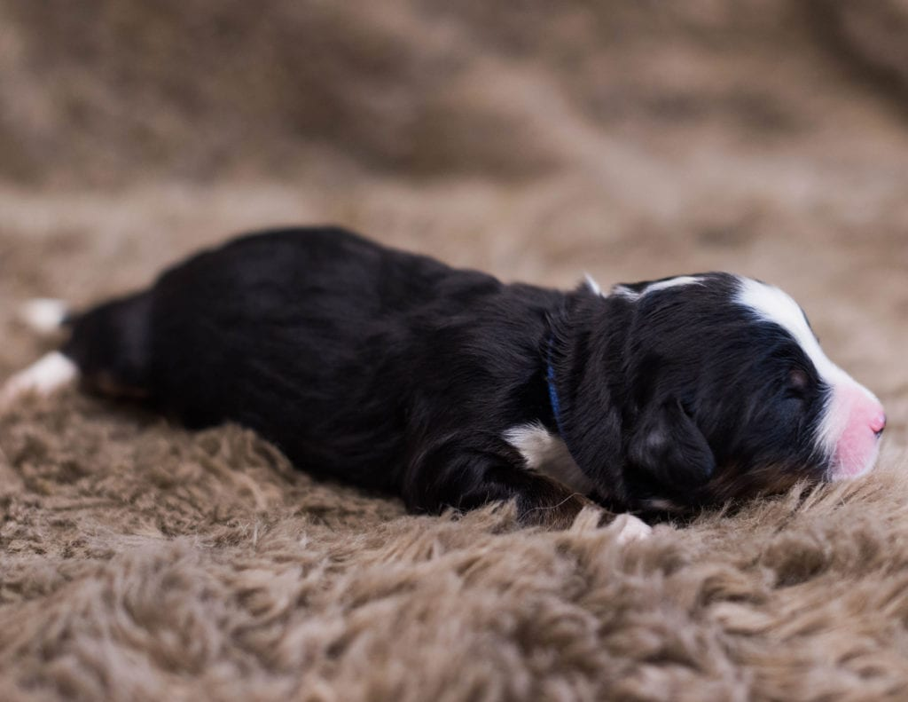 """Want to learn more about Bernedoodles? Check out our blog post titled """"The New Dog Breed Everyone Seems to Want"""""""
