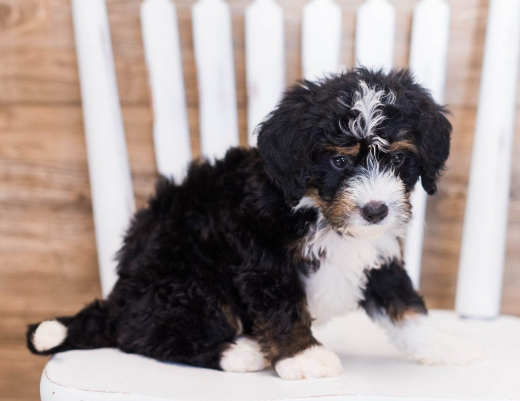 A picture of a Zowie, one of our Mini Bernedoodles puppies that went to their home in California