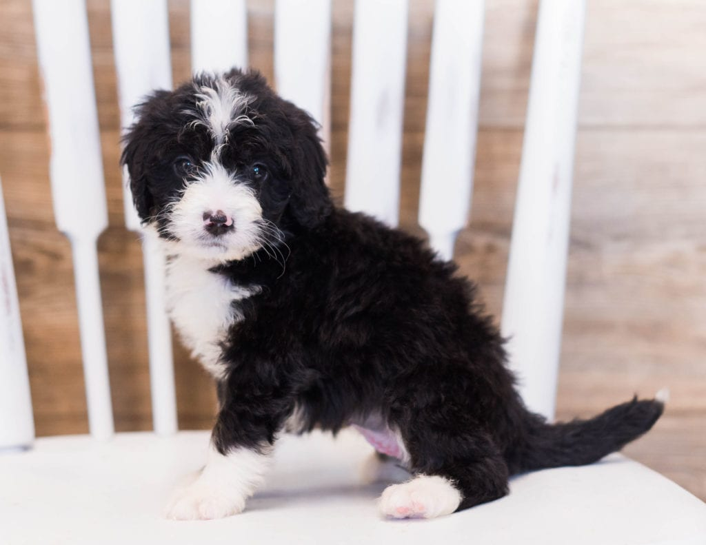 Zula came from Willow and Grimm's litter of F1 Bernedoodles