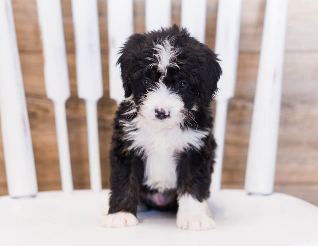 Zula is an F1 Bernedoodle that should have  and is currently living in Iowa