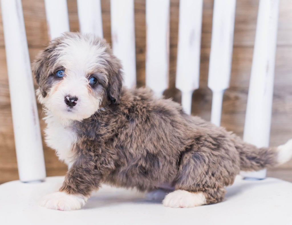 A picture of a Zuma, one of our Mini Bernedoodles puppies that went to their home in Georgia