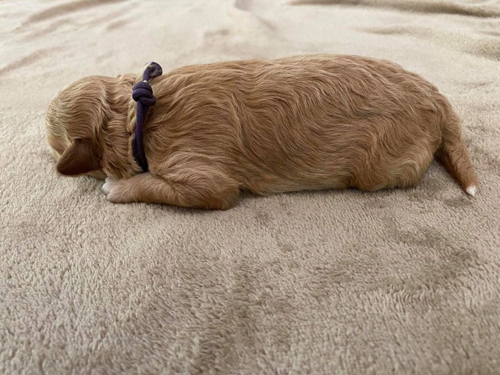 Honey is an F1BB Goldendoodle.