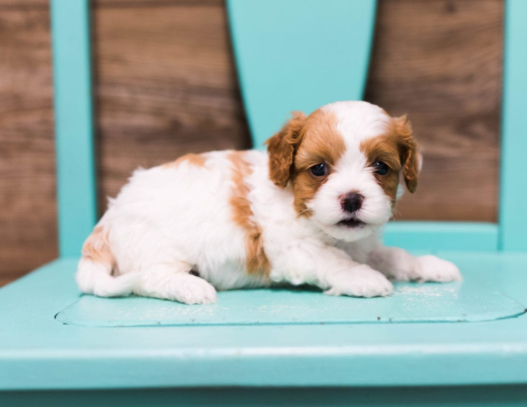 A picture of a Fargo, one of our Petite Cavapoos puppies that went to their home in Minnesota