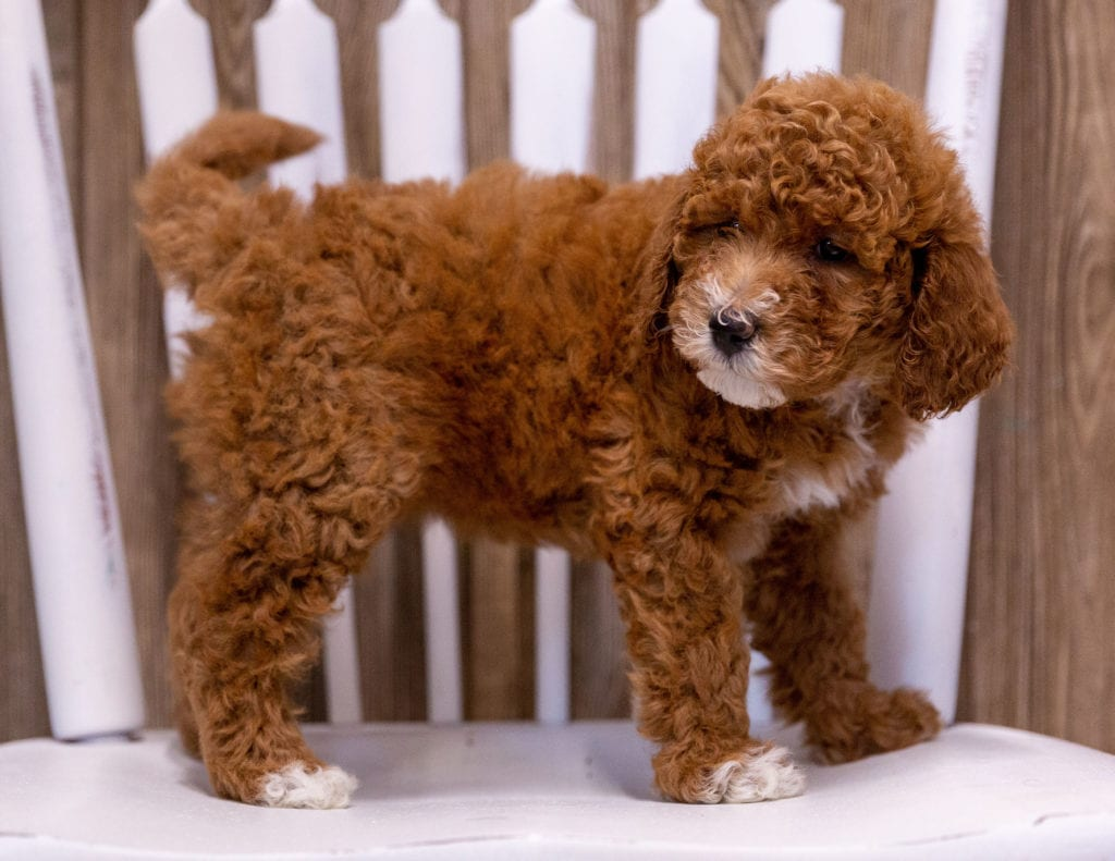 Gabbie is an  Poodle that should have  and is currently living in Iowa