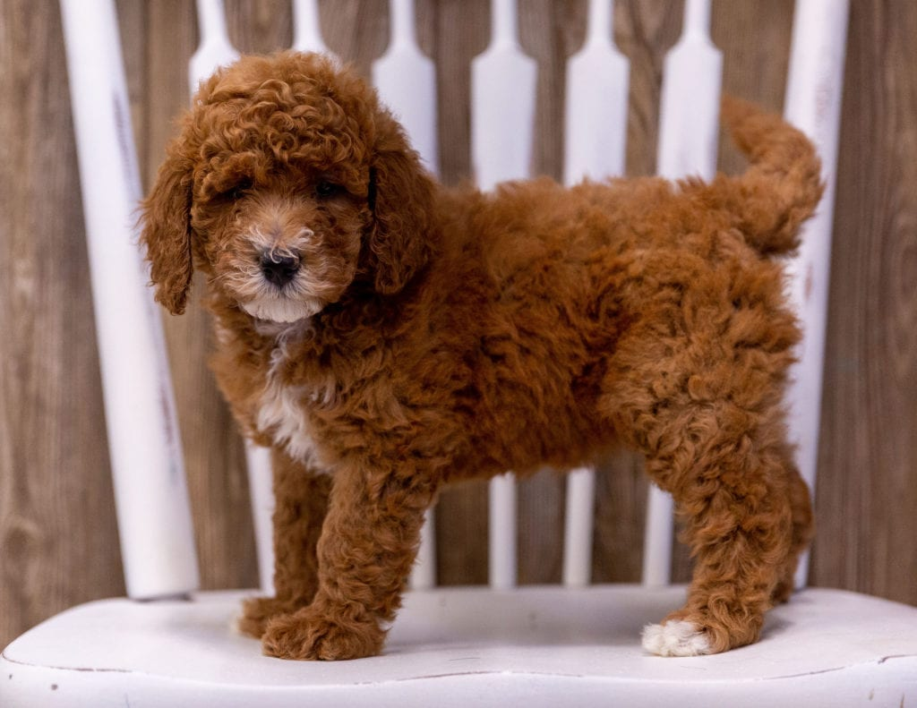 Gabbie came from Candice and Milo's litter of  Poodles