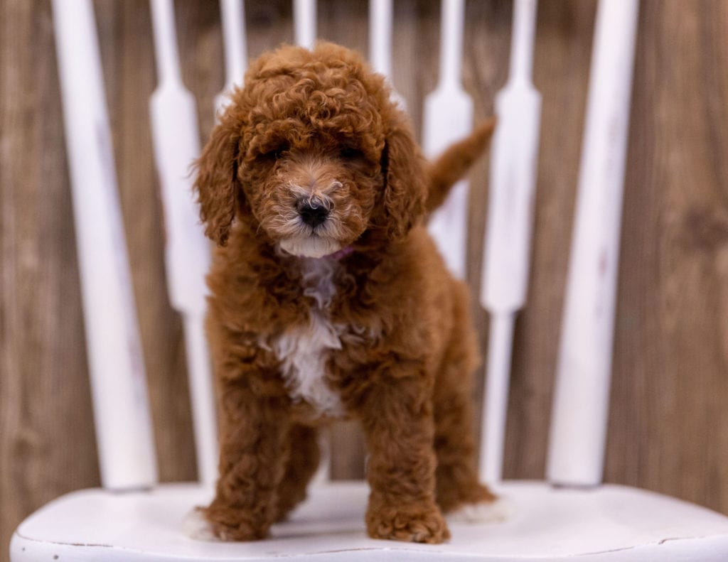A picture of a Gabbie, one of our Mini Poodles puppies that went to their home in Iowa