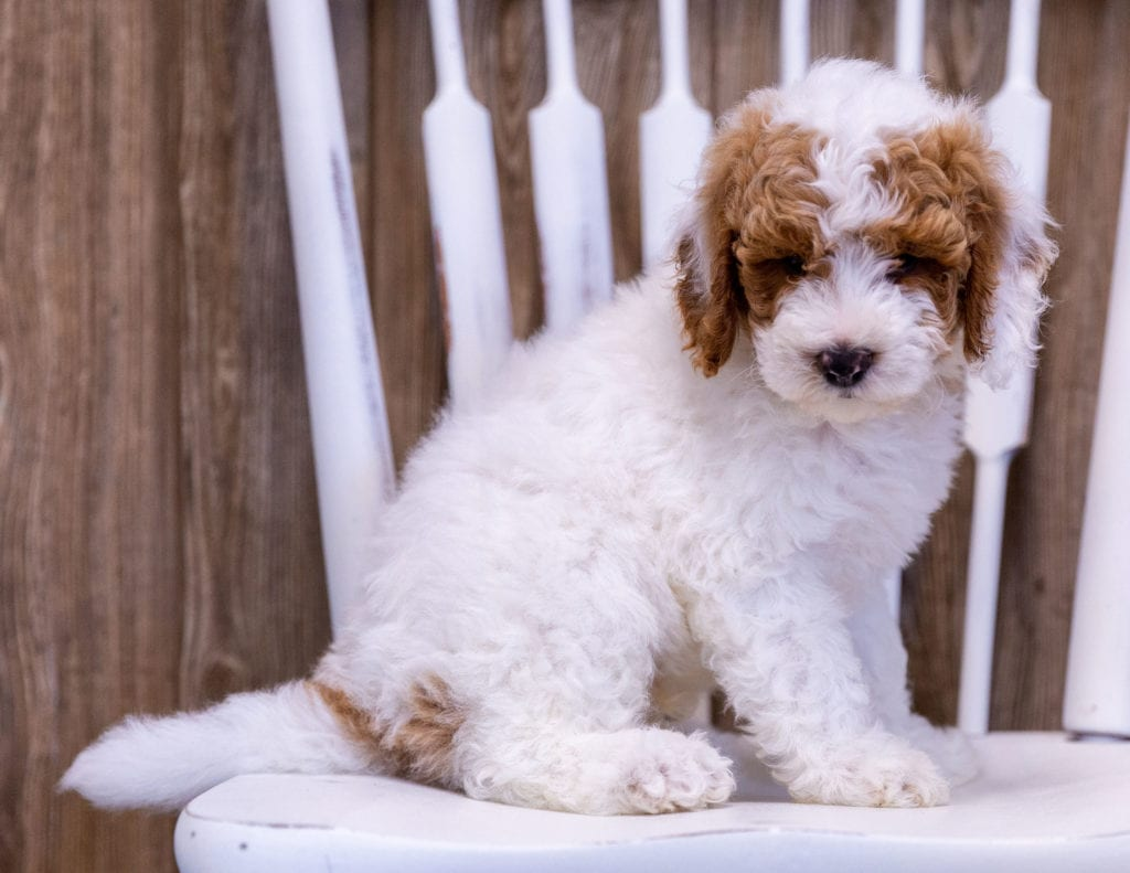 A picture of a Gambit, one of our Mini Poodles puppies that went to their home in New York