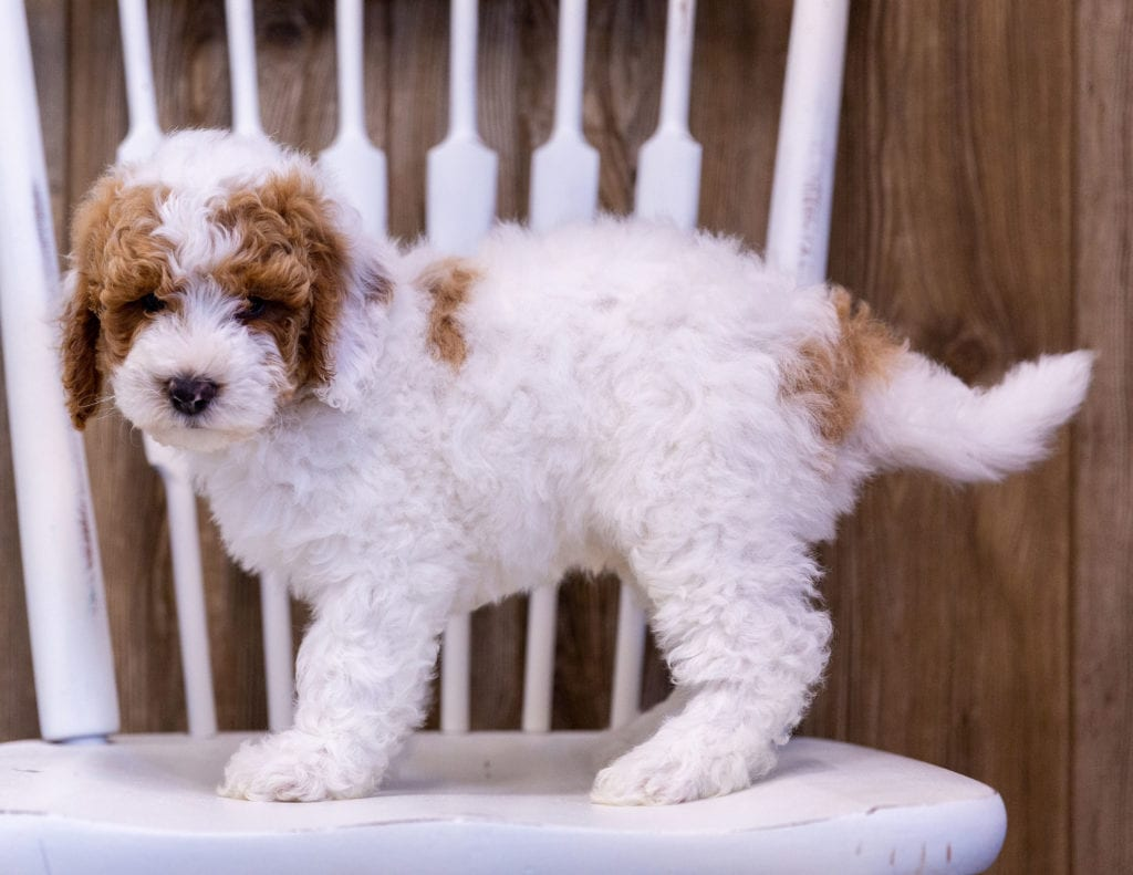 Gambit came from Candice and Milo's litter of  Poodles