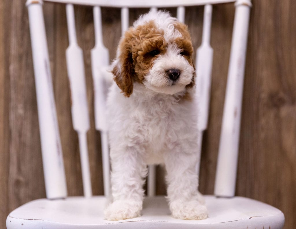 Gambit is an  Poodle that should have  and is currently living in New York