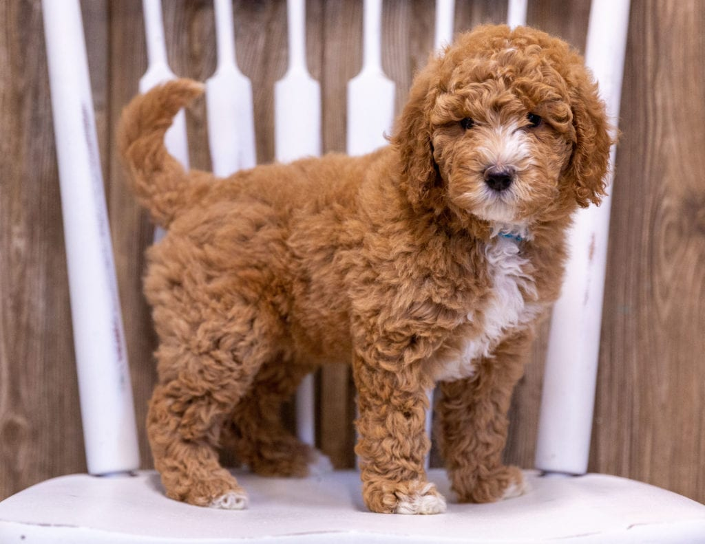 Ginny came from Candice and Milo's litter of  Poodles