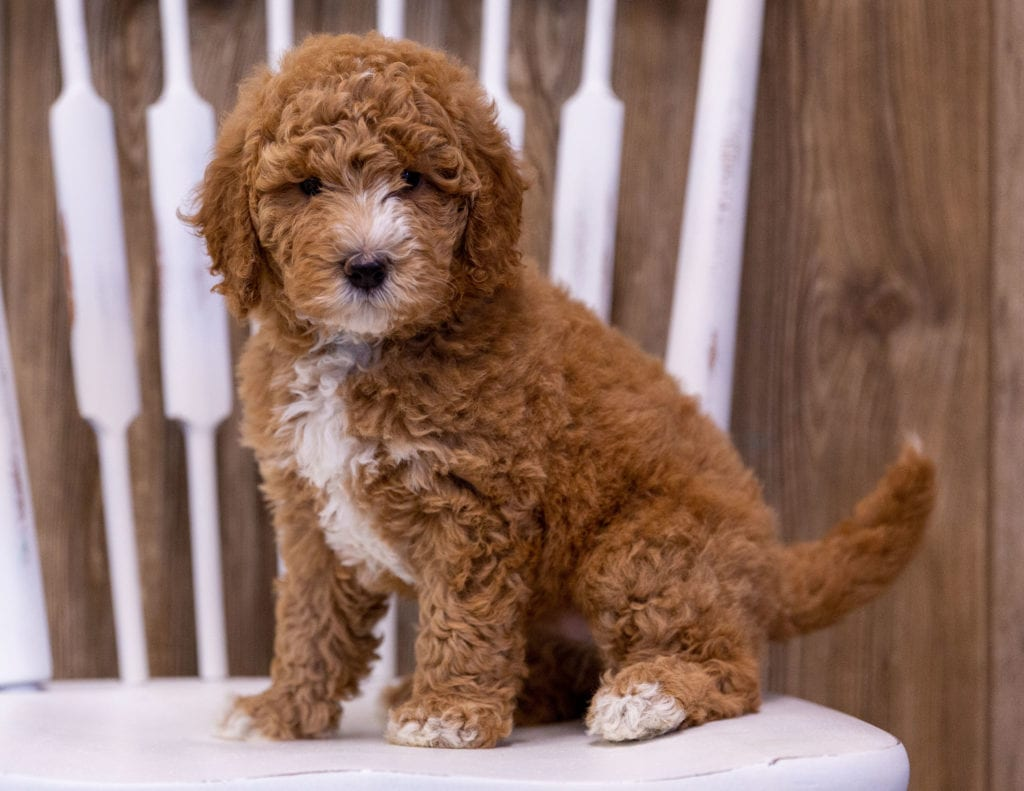 A picture of a Ginny, one of our Mini Poodles puppies that went to their home in Minnesota