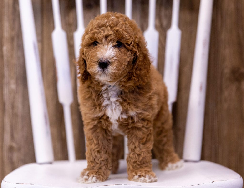 Ginny is an  Poodle that should have  and is currently living in Minnesota