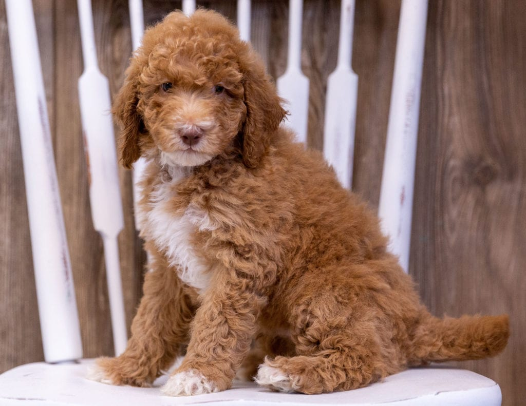 Griffin is an  Poodle that should have  and is currently living in Wisconsin