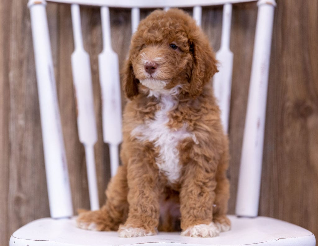 Griffin came from Candice and Milo's litter of  Poodles
