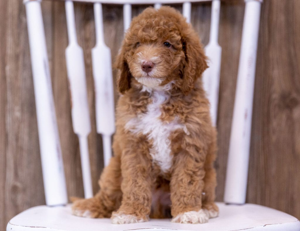 A picture of a Griffin, one of our Mini Poodles puppies that went to their home in Wisconsin