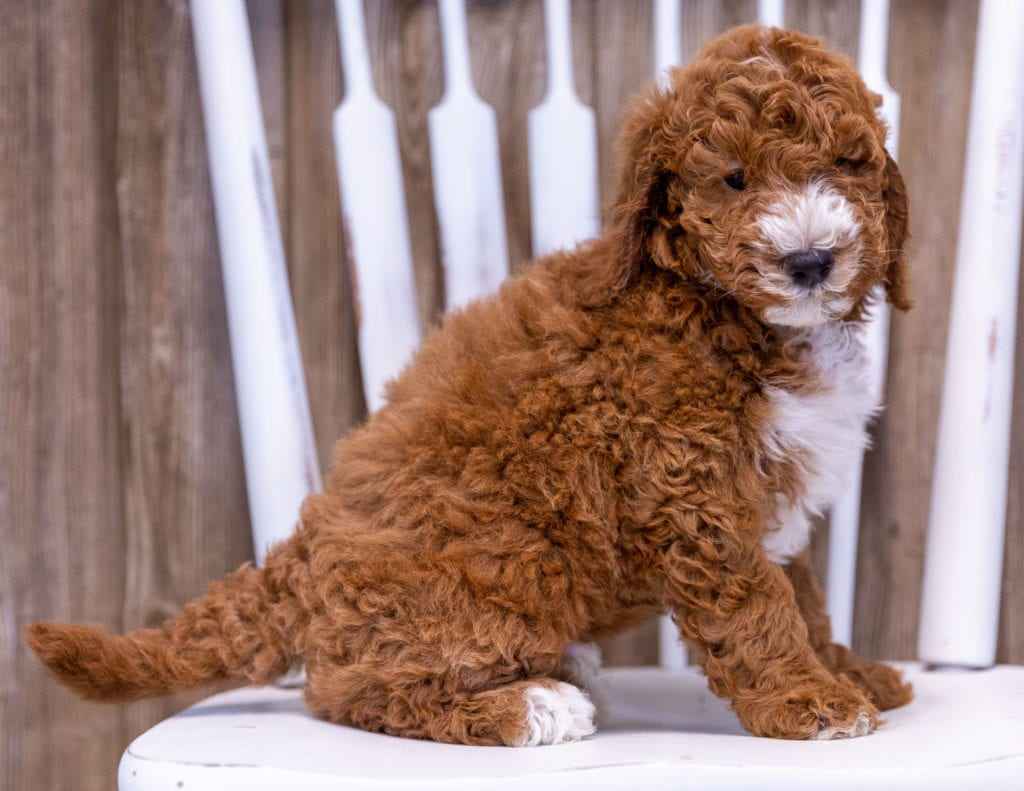 A picture of a Gunner, one of our Mini Poodles puppies that went to their home in California