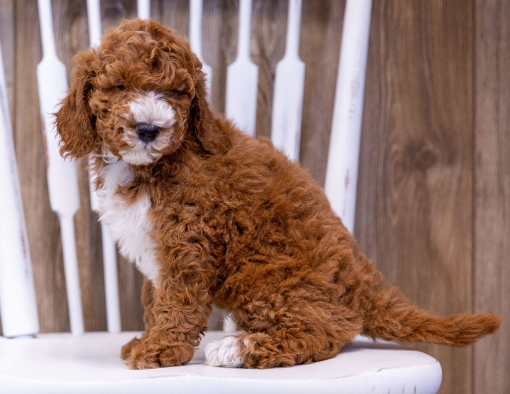 Gunner is an  Poodle that should have  and is currently living in California