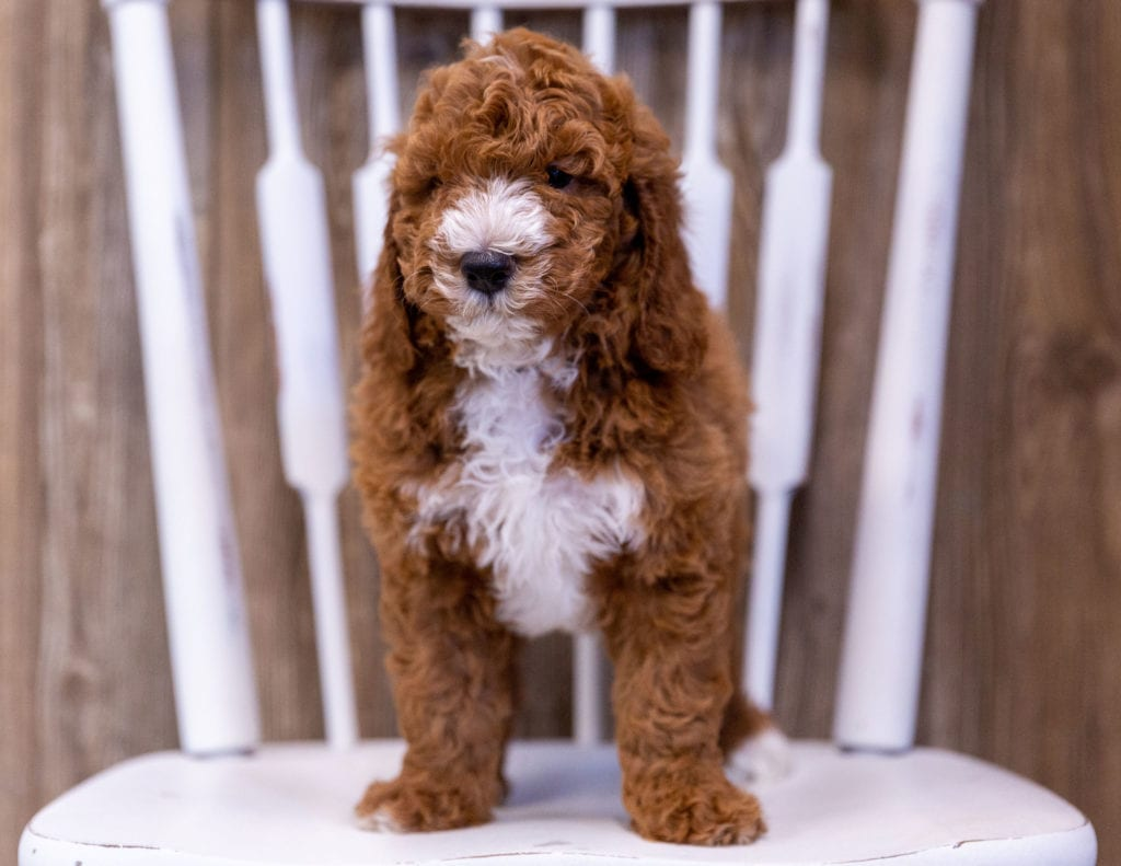 Gunner came from Candice and Milo's litter of  Poodles