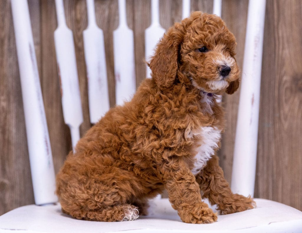 Gwen is an  Poodle that should have  and is currently living in Minnesota