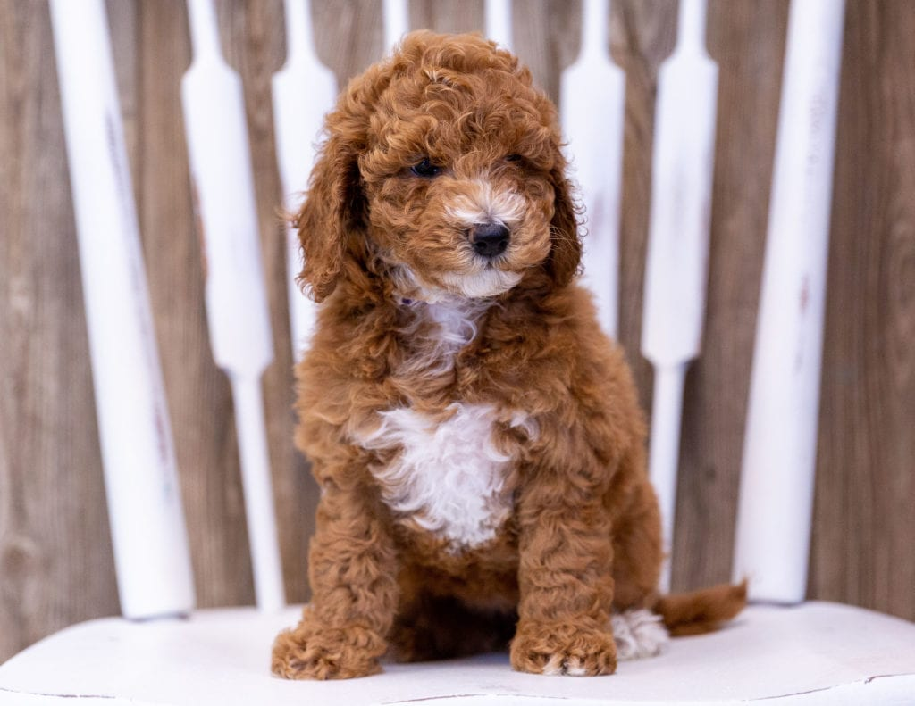 A picture of a Gwen, one of our Mini Poodles puppies that went to their home in Minnesota